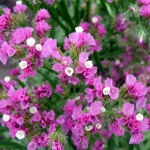 Статица Розовое сияние (сухоцвет) (20 шт/упак) оптом