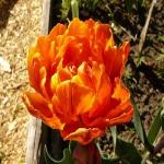 Тюльпан Orange Favorit попугай (30 шт/упак)