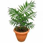 Цветок Хамедорея (10 шт/упак)