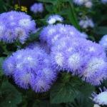 Агератум Голубой мех (20 шт/упак) оптом