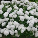 Агератум Белый шар (20 шт/упак) оптом