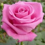 Роза чайно-гибридная Аква (5 шт/упак)