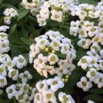 Алисум белый (20 шт/упак.) оптом