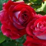 Роза флорибунда Альянс (5 шт/упак)