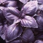 Базилик Фиолетовый (20 шт/упак)