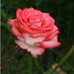 Роза чайно-гибридная Блуш (5 шт/упак)