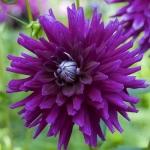 Георгина кактусовая Purple Gem оптом