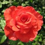Роза чайно-гибридная Корвет (5 шт/упак)