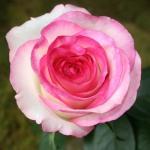Роза чайно-гибридная Дольче Вита (5 шт/упак)