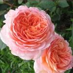 Роза английская Эдем (5 шт/упак)