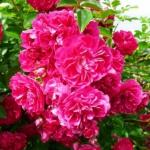 Роза штамбовая Ексельза 2 прививки (2 шт/упак)