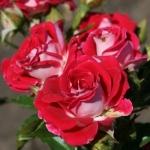 Мелкоцветковая роза Руби Стар оптом