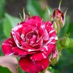 Бордюрная роза Арроу Фолиес оптом