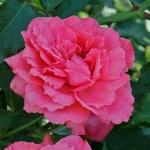 Саженцы розы махровая английский Sweet Kiss (Сладкий поцелуй) Эксклюзив класс А (8шт) оптом