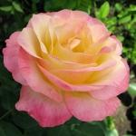 Роза чайно-гибридная Глория (5 шт/упак)