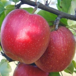 саженцы яблоня Джонаголд 1 класс(5 шт/упак)