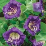Кобея фиолетовая (20 шт/упак.) оптом