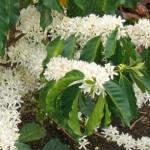Кофейное дерево Арабика (20 шт/упак) оптом