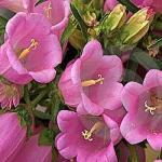 колокольчик розовий