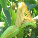 Кукуруза Сахарная Медуница (20 шт/упак)