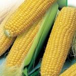 "кукуруза ""санданс"""