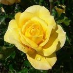 Роза штамбовая Ландора 1 прививка (2 шт/упак)