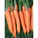 Морковь Карнавал (20 шт/упак) оптом