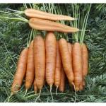 Морковь Скарла (20 шт/упак) оптом