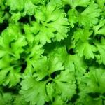 Петрушка листовая Ароматная (20 шт/упак) оптом