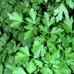 Петрушка листовая Урожайная (20 шт/упак) оптом