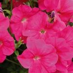 петуния ампельная розовая лавина f1