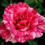Роза чайно-гибридная Пинк Интуишн (4 шт/упак.) оптом
