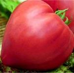 помидор вельможа