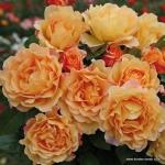 Роза английская Эскалибур  (4 шт/упак.) оптом