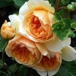 Роза английская Сэр Ланселот (5шт/упак)
