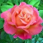 Роза чайно-гибридная Бирди (5шт/упак)