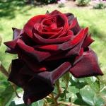Роза чайно-гибридная Блек Бакара (5шт/упак)