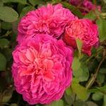 Роза махровая английская Pink Ice (Розовый Лед) (5шт/упак)