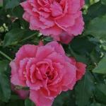 Роза махровая английская Sweet Kiss  (Сладкий поцелуй) (3 шт/упак.) оптом