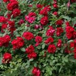 Роза мелкоцветковая Красная (5шт/упак)