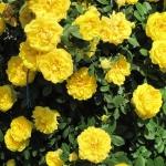 Роза парковая Консуэлла (3шт/упак)