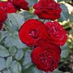 Роза парковая Торнадо (5шт/упак)