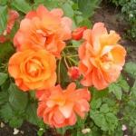 Роза парковая Вэстэрленд (4 шт/упак.) оптом