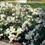 Роза почвопокровная Белая махровая (3шт/упак)
