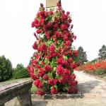 Роза вьющаяся Фламентанз