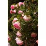 Роза вьючаяся Sharika-Asma (5шт/упак)