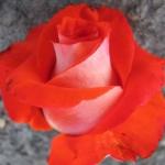 Роза чайно-гибридная Верано (5шт/упак)