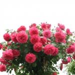 Роза штамбовая Розариум 1 прививка (2 шт/упак)