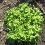 Салат Салат Гранд Рапид (20 шт/упак) оптом