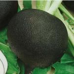 Редька Сквирская черная (20 шт/упак) оптом